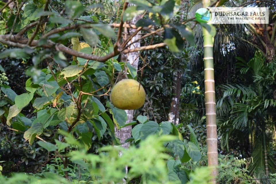 fruit-at-spice-farm-plantation-in-goa