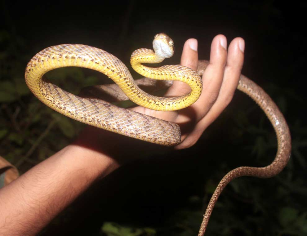 Ceylon Cat Snake-Goa