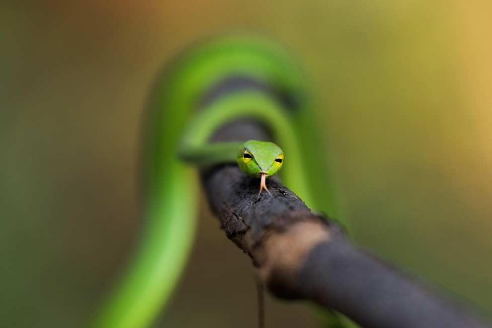 Great Vine snake
