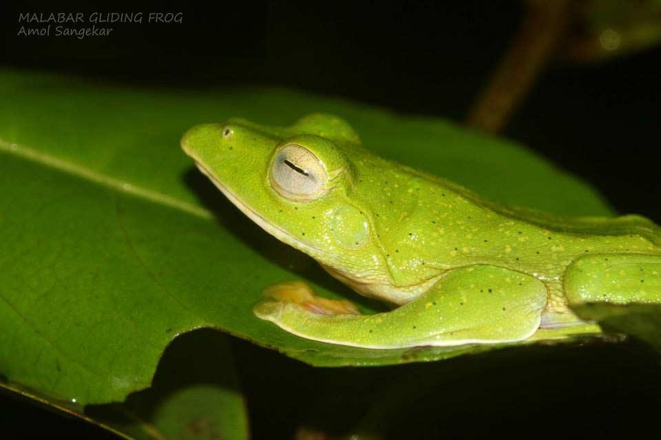 Malabar-Flying-(gliding)-frog-Goa